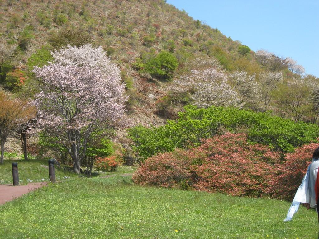 桜と、つつじの饗宴でございます。