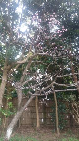 白梅と紅梅が同じ木に咲いてます!